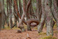 Танцующий лес Crooked Forest, Pine Tree, Amazing, Pine