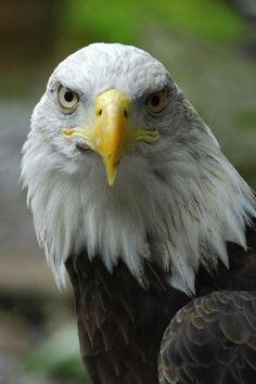 Beautiful Birds, Animals Beautiful, Eagle Pictures, Eagle Bird, Birds Of Prey, Pet Store, Pets, Bald Eagles, Nature