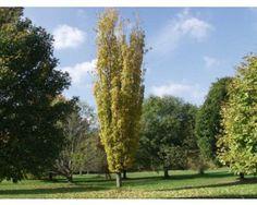 Maple, Norway Columnar - Trees (Shade & Flowering) - Plants - TheTreeFarm.com