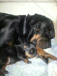 #Rottweiler family
