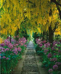 Rosemary Verey's Laburnum walk in flower - Barnsley House, UK