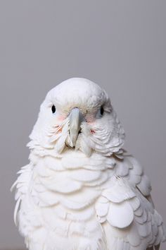Goffin Cockatoo... Just like my Sydney Sheldon.