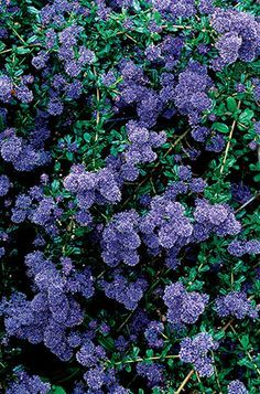 Ceanothus 'Concha' - concha ceanothus. California native plant; one of the best California lilacs for the garden with dark-green leaves all year; showy, deep blue flowers with reddish bracts bloom in spring; attracts beneficial insects.