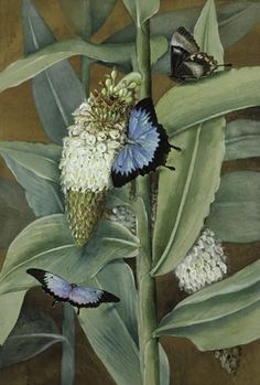 alpinia racemigera with ulysses butterflies, by marion ellis rowan (1911).