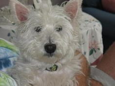 Duffy is an adoptable West Highland White Terrier Westie Dog in Troy, MI. PLEASE GO TO WWW.WESTIERESCUE-MI.COM TO READ ABOUT OUR PROCESS AND TO OBTAIN AN APPLICATION. APPLICATIONS ARE GENERIC AND GET ...