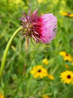 Thistle: Photograph of thistle blossom in a by JantasticPhotos