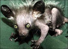 """Odd looking creature, wouldn't you agree? This strange animal is called an Aye-aye, and you can find it in Madagascar. The furry little critter spends most of its life in rain forest trees, avoiding the grounds where they are easy targets for larger mammals. Unfortunately, in Madagascar, people consider Aye-ayes a bad omen and kill them on spot, believing that their death will bring them fortune. Just look at him… would you kill such a """"cute"""" animal?"""