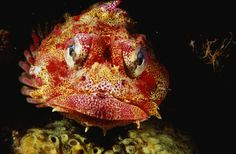 ugly sea creatures | Red Irish Lord fish - strange photo, pic