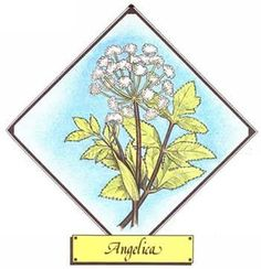 Uses of the Angelica Plant - Organic Gardening - MOTHER EARTH NEWS slightly different species of Angelica