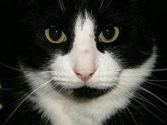 Noah, my parent's tuxedo cat.