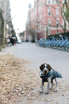 gsp autumn pup via James Nord