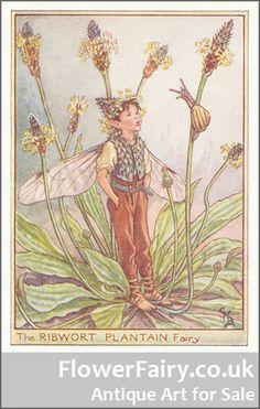 Ribwort Plantain Flower Fairy, original antique print.