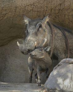 .even warthogs love their babies.