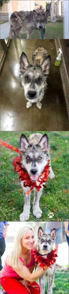 Julia .. a wolf hybrid rescued in Los Angeles by Hope For Paws  ❤️