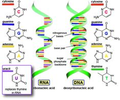This is DNA and RNA, the two main polymers of nucleic acids.