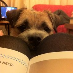 I'm here, stop reading your book! Terrier Dogs, Terriers, Cute Boarders, Border Terrier, Little Brown, Brown Dog, Little Dogs, Four Legged, Puppies