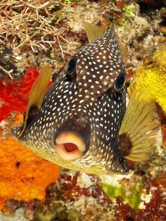"""""""Well, I'm smooth, I'm cool, and I'm rocking out!""""   ***Smooth trunkfish (Lactophrys triqueter)***"""