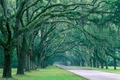Sweeping oak trees hang over the roads at the Historic Wormsloe Plantation in Savannah. - HouseBeautiful.com