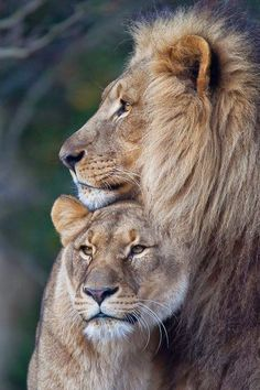Lion and Lioness . - - Lion and Lioness … – Effektive Bilder, d - Lion Pictures, Animal Pictures, Pictures Of Love, Couple Pictures, Art Pictures, Beautiful Pictures, Beautiful Cats, Animals Beautiful, Animals And Pets