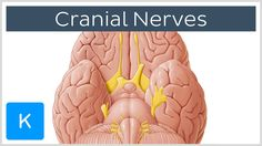 Cranial nerves (preview) - Human Anatomy | Kenhub