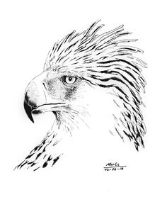 pen and ink Philippine eagle drawing illustration
