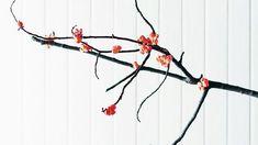 Fleurs de pop-corn. Vous ne rêvez pas, de jolies fleurs de pop-corn d'un rose somptueux poussent aux extrémités de ces branches de noisetier!