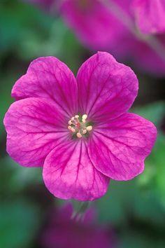 Geranium Geranium 'Russell Prichard'