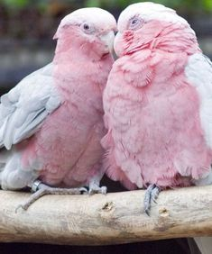 Bird aesthetic pink Ideas for 2019 Love Birds, Beautiful Birds, Baby Animals, Cute Animals, Pink Animals, Pink Power, Pink Bird, Everything Pink, Cockatoo
