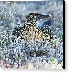 Road Runner On Nest In The Plantain Canvas Print featuring the digital art Road Runner On Nest In The Plantain by Tom Janca