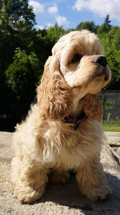"""Outstanding """"cocker spaniels"""" info is available on our site. Take a look and you wont be sorry you did. Cocker Spaniel Haircut, Perro Cocker Spaniel, Dog Name Tags, Pet Tags, Cute Puppies, Cute Dogs, Dogs And Puppies, Cocker Bebe, American Cocker Spaniel"""