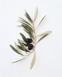 Olive branch, Meaning: Peace