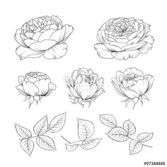 Vector: Roses bud collection.