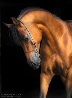 Arabian Horses, Proud & Elegant -=- Among the Most Gorgeous Creatures on Earth !! <3