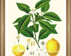 Lemon Print Citrus Fruit Print Small Art Print by ebuchmann