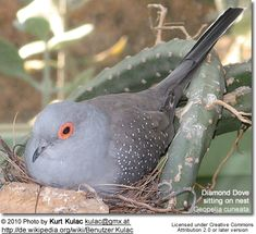 Google Image Result for http://www.avianweb.com/images/birds/doves/DiamondDove3.jpg