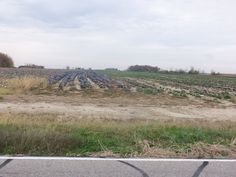 Cabbage field on 300N