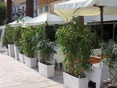 Bambus im Kübel kann eine Terrasse im Garten oder einen