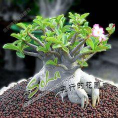 Image from http://g01.a.alicdn.com/kf/HTB1D.xkLXXXXXXTXVXXq6xXFXXXO/Rosa-do-deserto-adenium-obesum-seeds-5pc-adenium-arabicum-desert-rose-seeds-sementes-rosa-do-deserto.jpg_640x640.jpg.