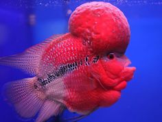 "March 29, 2012. A flowerhorn fish is displayed at the annual fish festival or ""Pramong Nomjai Thai Tuala"" at a shopping mall in Bangkok."
