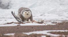 Snowy Owl eating a herring gull along the harbor - December 2017