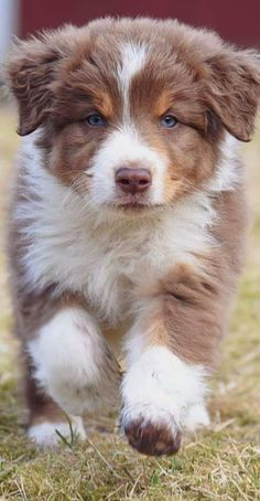 Things we love about the Energetic Australian Shepherd Puppies - Aussies Aussie Shepherd, Australian Shepherd Puppies, Aussie Puppies, Cute Dogs And Puppies, Doggies, Mini Australian Shepherds, Miniture Australian Shepard, Corgi Puppies, Cute Dogs Breeds
