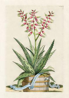 Abraham Munting Hand-Colored Botanical Prints 1702  - Aloe vera costa spinosa