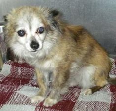 Rocky is an adoptable Chihuahua Dog in Logan, UT.  ...