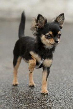 Prancing Chihuahua