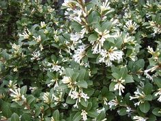 "Osmanthus ""Heaven Sent"", with tight clusters of flowers. A compact, sense shrub, versatile as a hedge, on its own or grown in a large cont. Fence Gate, Fencing, Early Spring Flowers, Large Containers, Evergreen Shrubs, Heaven Sent, Large Plants, Shade Plants, Hedges"