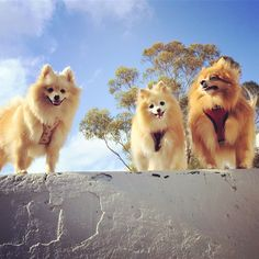 My beautiful girls exploring the world up at Knocklofty Dog Vitamins, Healthy Dog Treats, Pomeranian, Natural Remedies, Exploring, Corgi, Sky, Girls, Nature
