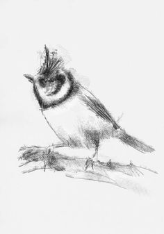 Artist Sean Briggs producing a sketch a day Crested tit #art #drawing #http://etsy.me/1rARc0J #sketch #tit