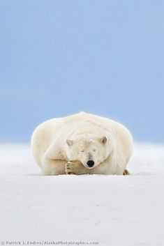Arctic Symmetry by © Patrick Endres Polar bear sleeps on the snow covered Arctic barrier island in Alaska's Beaufort Sea, Arctic National Wildlife Refuge. Funny Animals, Animals And Pets, Cute Animals, Nature Animals, Baby Animals, Mundo Animal, My Animal, Primates, Mammals