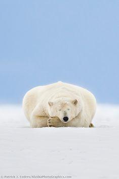 Polar Bear Sleeping in Alaska's Arctic by Patrick J Endres.