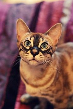 These Are The Most Unusual Markings I've Ever Seen On Any Animal. Real? I Hope So Because This Cat Is Beautiful.